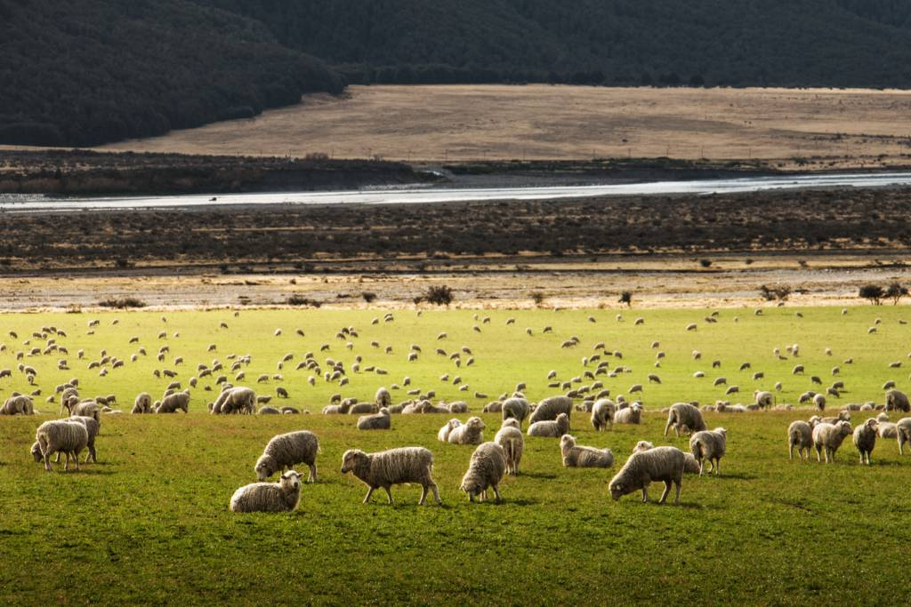 Preventing the resurgence of Sheep Scab